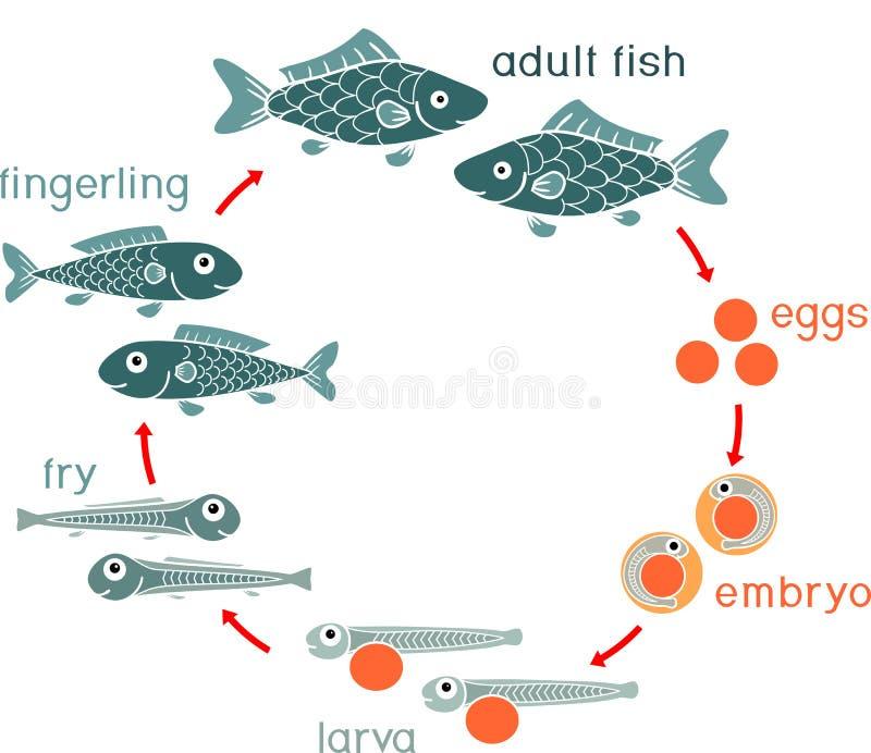鱼的生命周期 鱼的发展阶段序列从蛋獐鹿的到成人动物 皇族释放例证