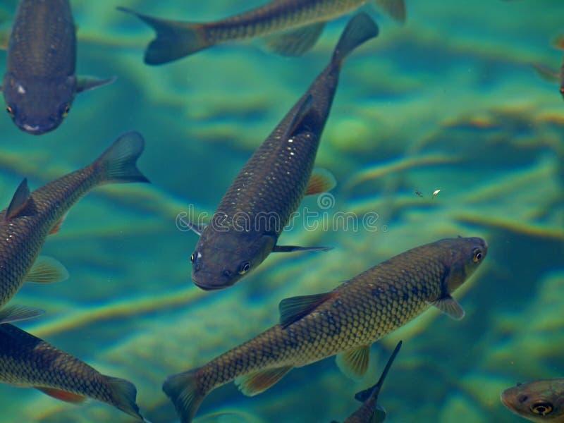 鱼绿色水 免版税库存照片