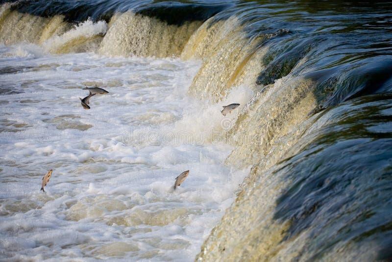 鱼跳瀑布 水 河 n 免版税库存照片