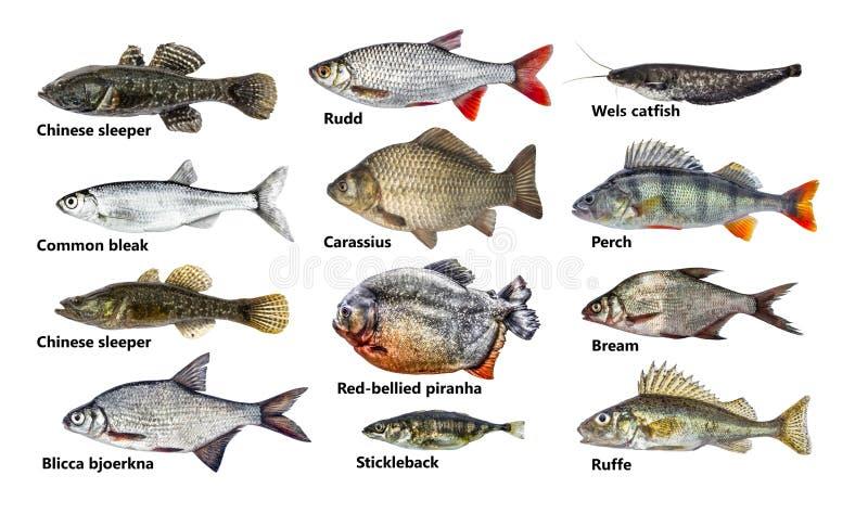 鱼隔绝了集合,汇集 免版税库存照片