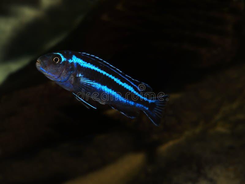 鱼马拉维 库存图片