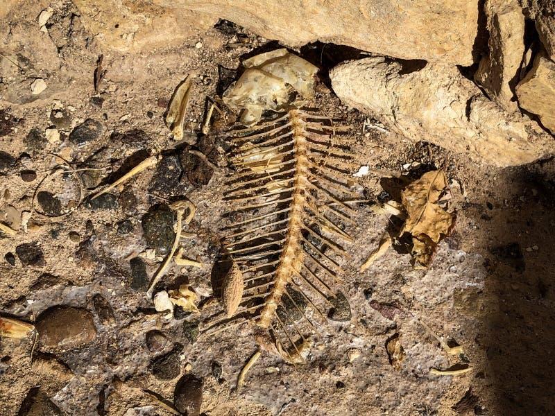 鱼骨和骨骼遗骸  免版税库存图片