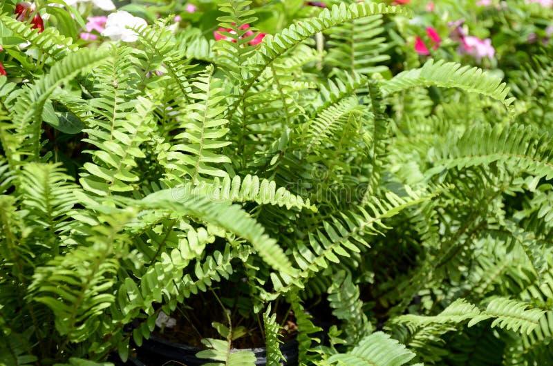 鱼骨蕨绿色庭院背景  免版税库存照片
