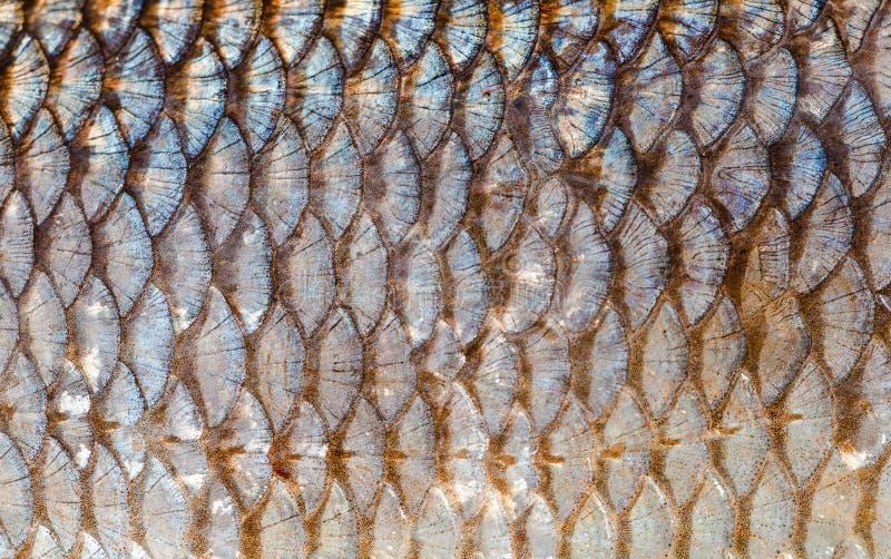 鱼鳞背景关闭 银和金子颜色 免版税库存图片