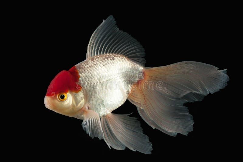 鱼 与红色头的白色Oranda金鱼在黑背景 免版税库存图片