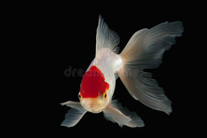 鱼 与红色头的白色Oranda金鱼在黑背景 免版税图库摄影