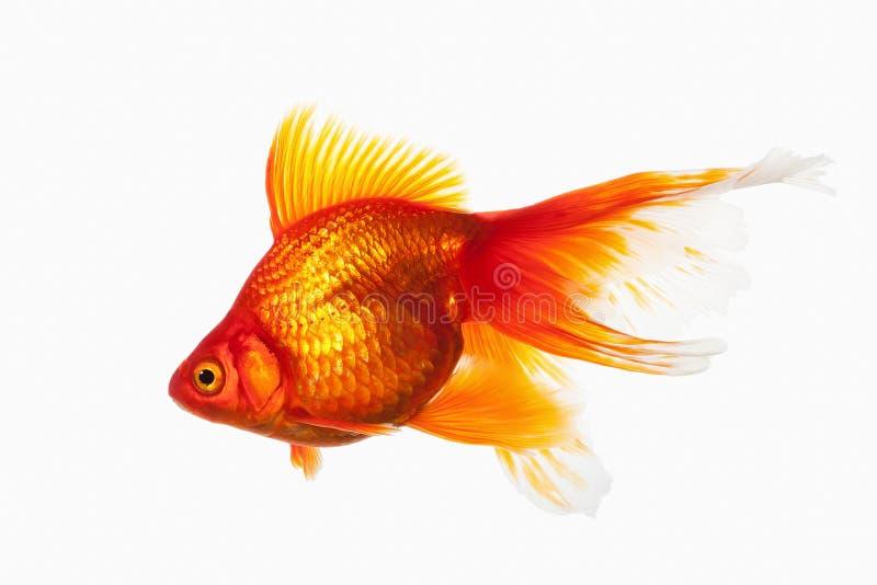 鱼 在白色背景隔绝的橙色金鱼 免版税库存图片