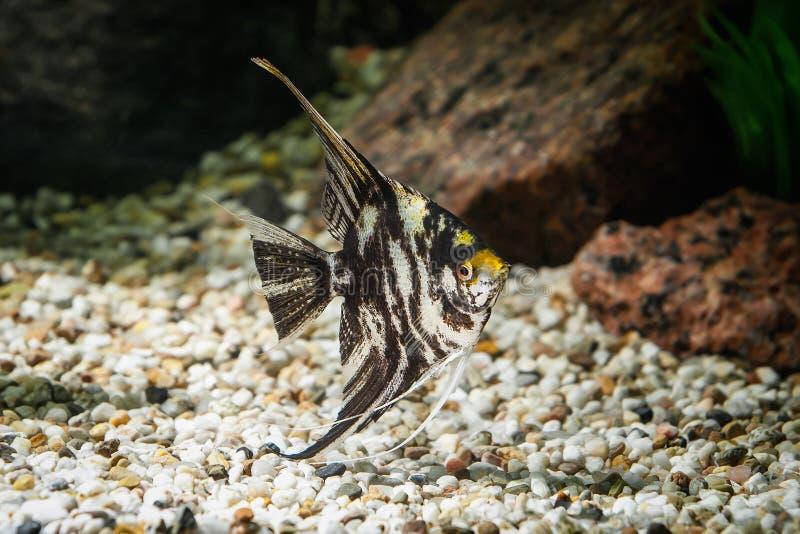 鱼 在水族馆的神仙鱼有绿色植物的和石头 免版税库存图片