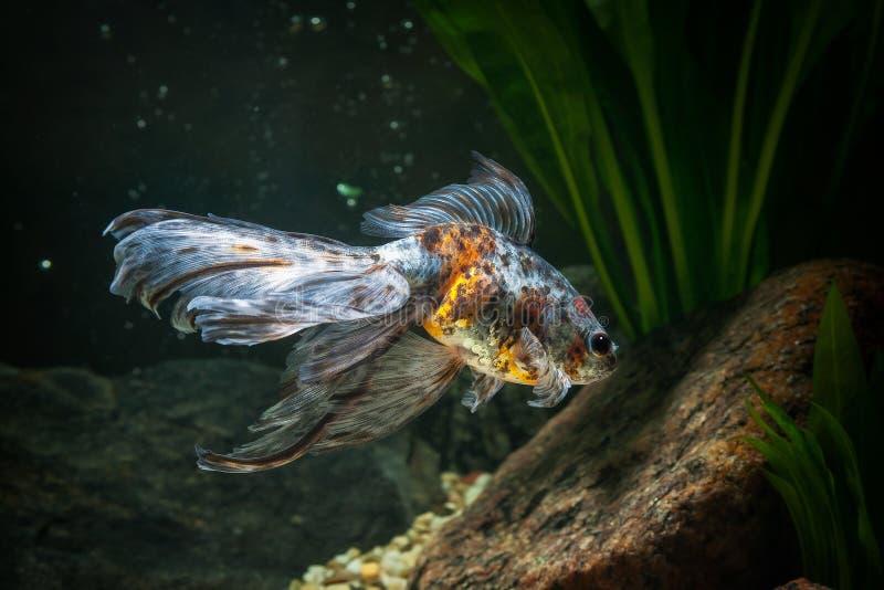 鱼 在水族馆的金鱼有绿色植物的和石头 库存照片