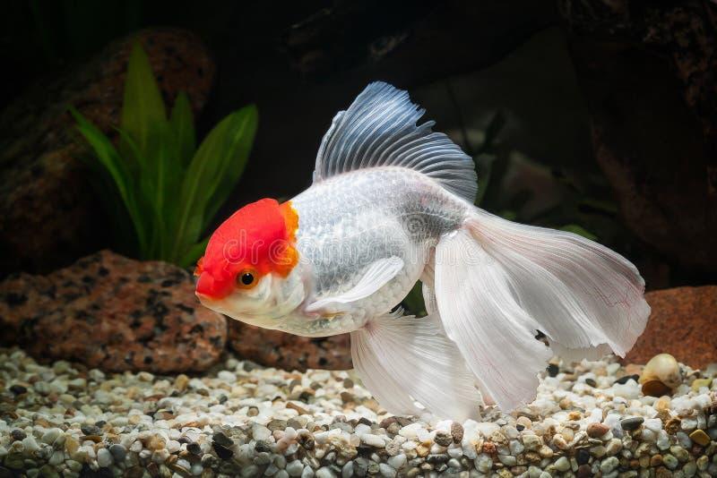 鱼 在水族馆的金鱼有绿色植物的和石头 免版税库存图片