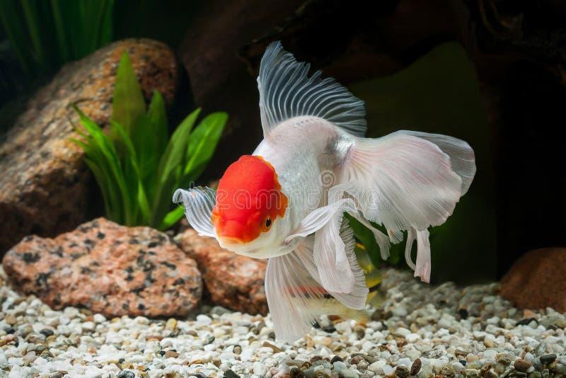 鱼 在水族馆的金鱼有绿色植物的和石头 免版税库存照片