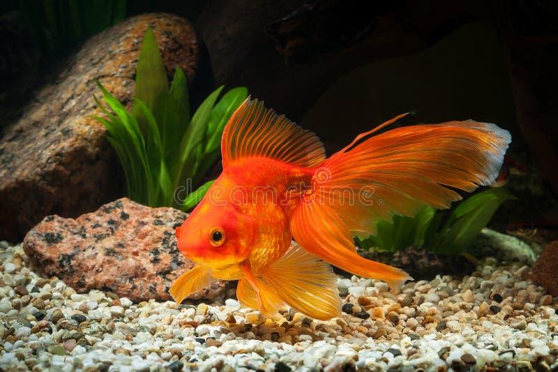 鱼 在水族馆的金鱼有绿色植物的和石头 图库摄影