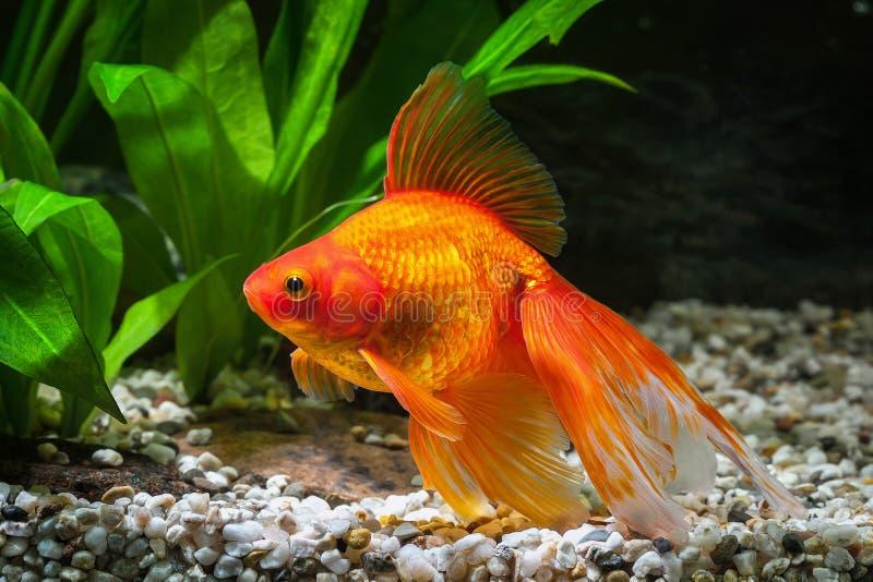 鱼 在水族馆的金鱼有绿色植物的和石头 库存图片