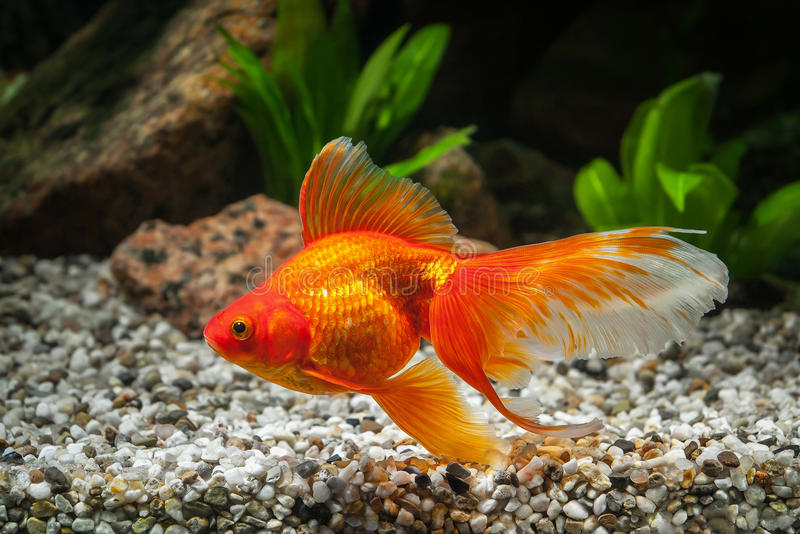 鱼 在水族馆的金鱼有绿色植物的和石头 免版税图库摄影