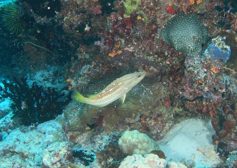 鱼-苗条石斑鱼 库存照片