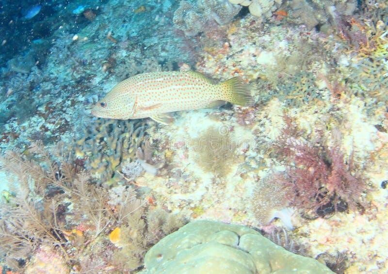 鱼-苗条石斑鱼 免版税图库摄影