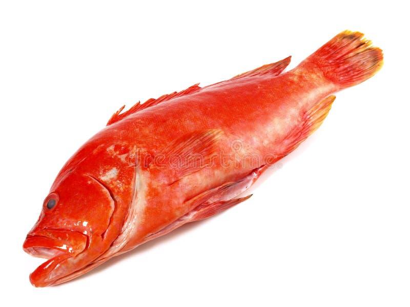 鱼-草莓石斑鱼,珊瑚后面 图库摄影