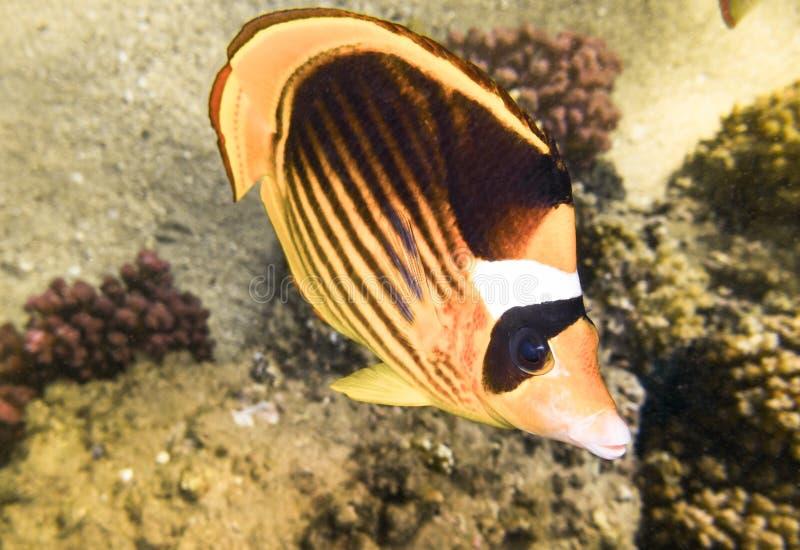 鱼蝴蝶 海洋生物在红海 库存照片