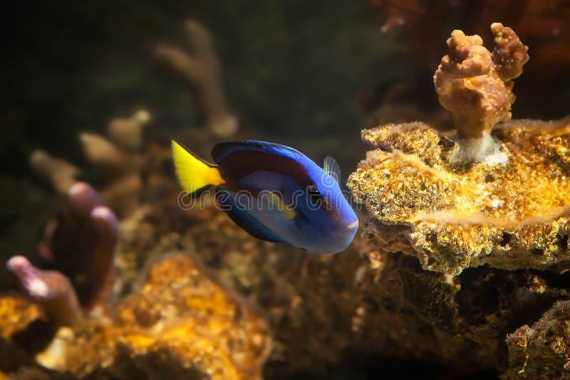 鱼 调色板矛状棘鱼, Paracanthurus hepatus 免版税库存图片
