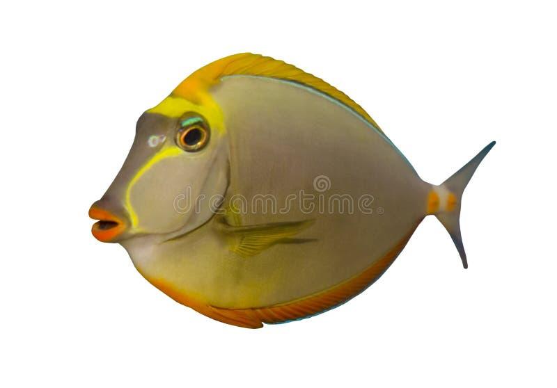 鱼isolat热带naso的特性 免版税库存照片