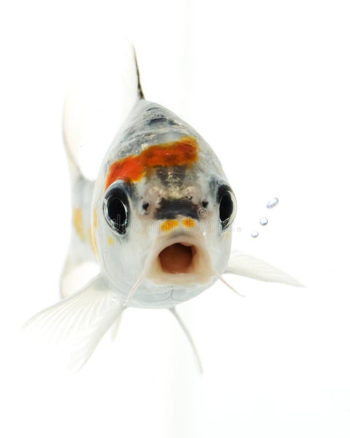 鱼koi银 免版税库存照片