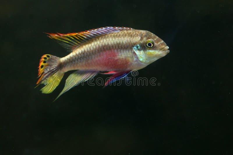 鱼kribensis彩虹 图库摄影
