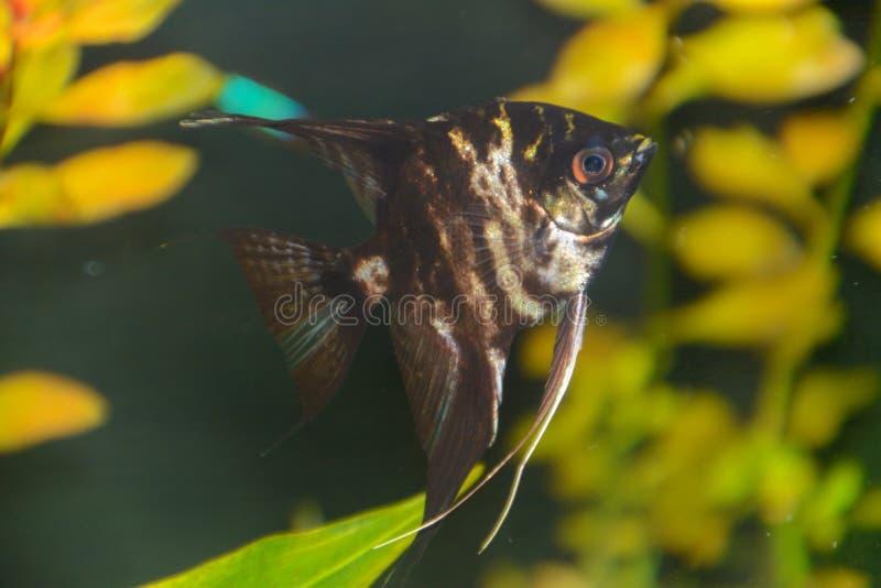 鱼pterophyllum scalare神仙鱼,红魔标量 库存照片