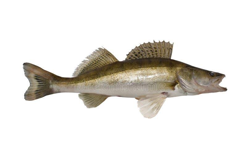 鱼zander 库存照片