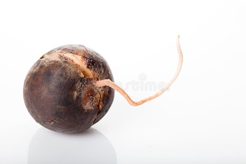 鲕梨种子 免版税库存图片