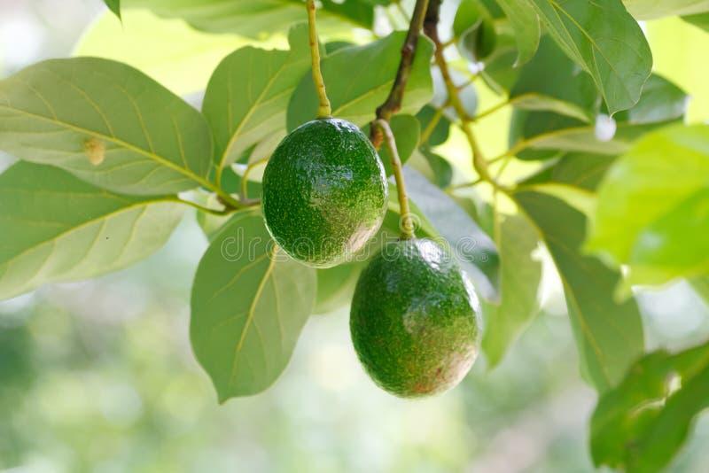鲕梨美国果子的鳄梨属 库存照片