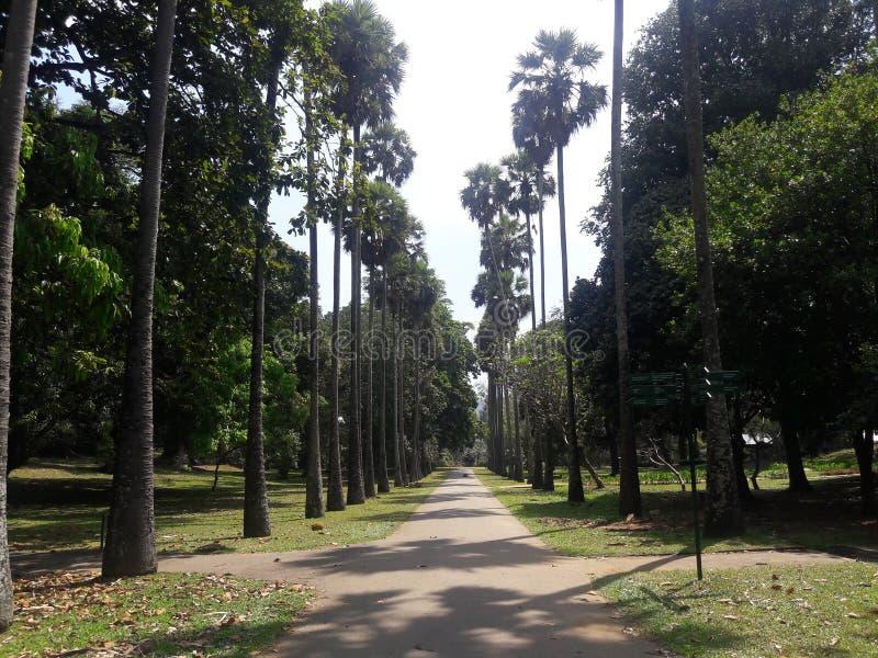鲜亮的棕榈大道在植物园- Peradeniya里 免版税库存照片