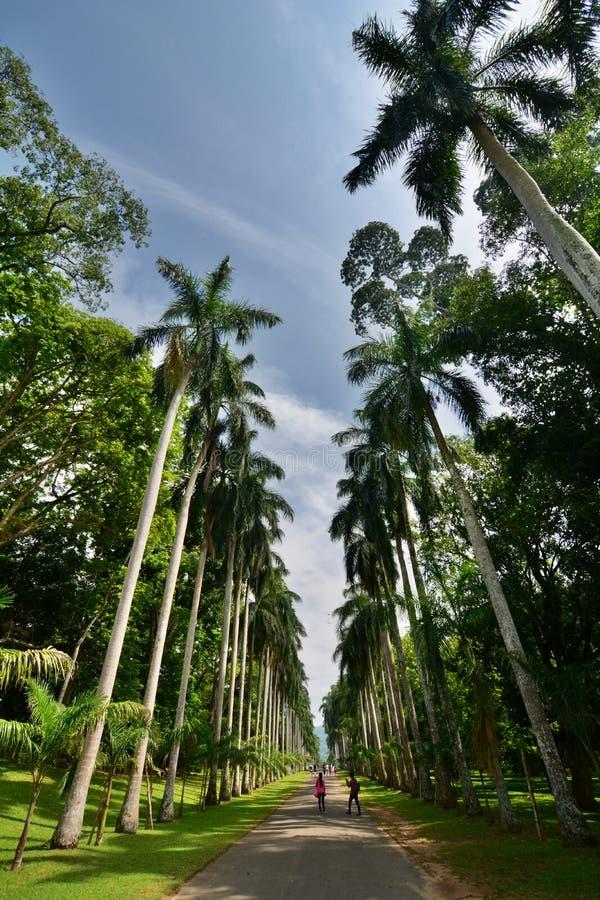 鲜亮的棕榈大道 皇家的植物园 Peradeniya 康提 斯里南卡 免版税图库摄影