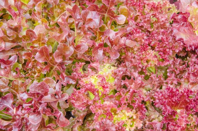 鲜紫莴苣叶顶视图 库存图片