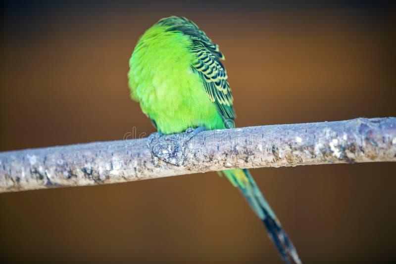 鲜绿色小鹦鹉的鸟,坐在被弄脏的拷贝空间背景的树枝 在家保留宠物概念 库存图片