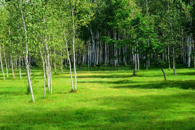 鲜绿色桦树 库存图片