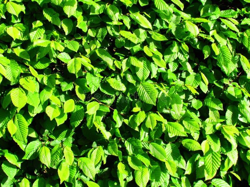 鲜绿色留下自然照片纹理,树篱细节 免版税库存照片