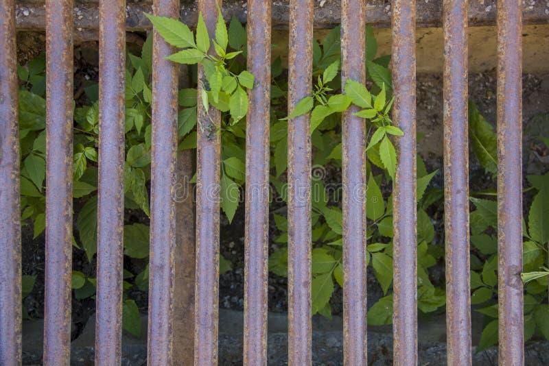 鲜绿色的叶子通过一个生锈的棕色格子增长 E 免版税库存照片