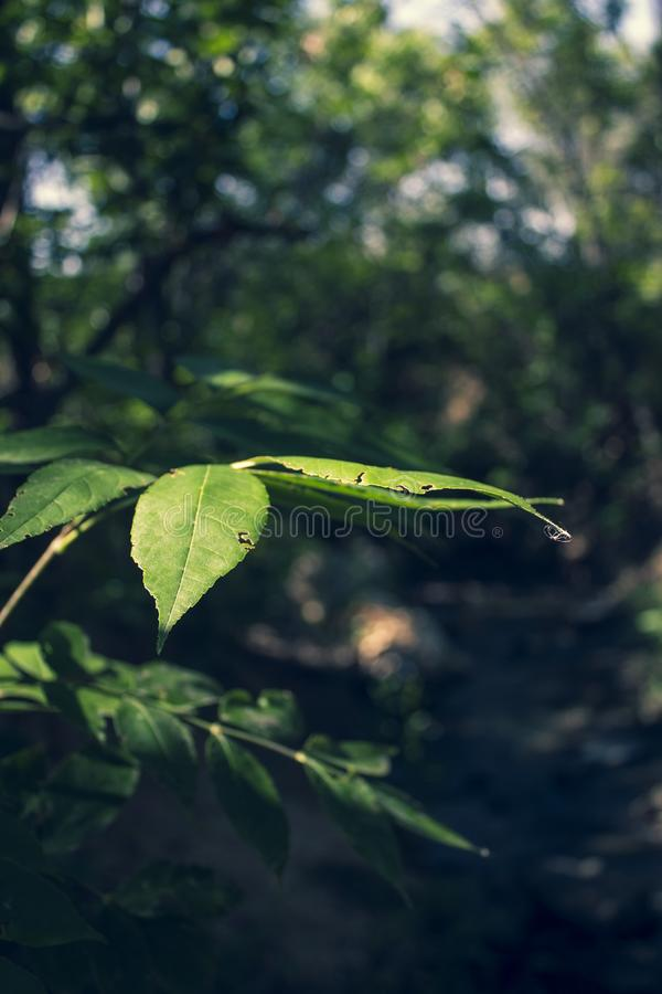鲜绿色的叶子,特写镜头 隔绝在自然本底 r E 库存照片