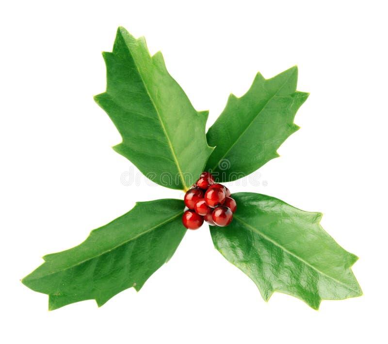 鲜绿色的圣诞节霍莉用被隔绝的红色莓果 免版税库存照片