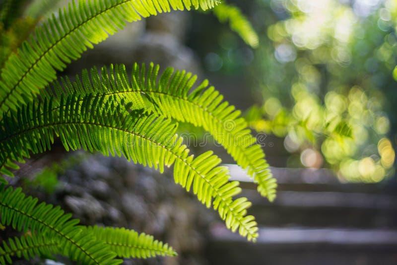 鲜绿色的在浅绿色的被弄脏的背景的叶子热带蕨 与bokeh的特写镜头 美丽的布什在热带庭院里 库存照片