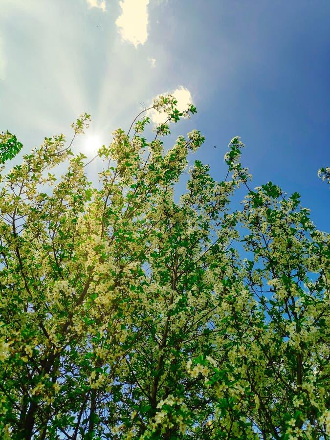 鲜绿色的樱桃树分支照片与花的在反对天空蔚蓝的5月与云彩和太阳光芒 免版税库存图片