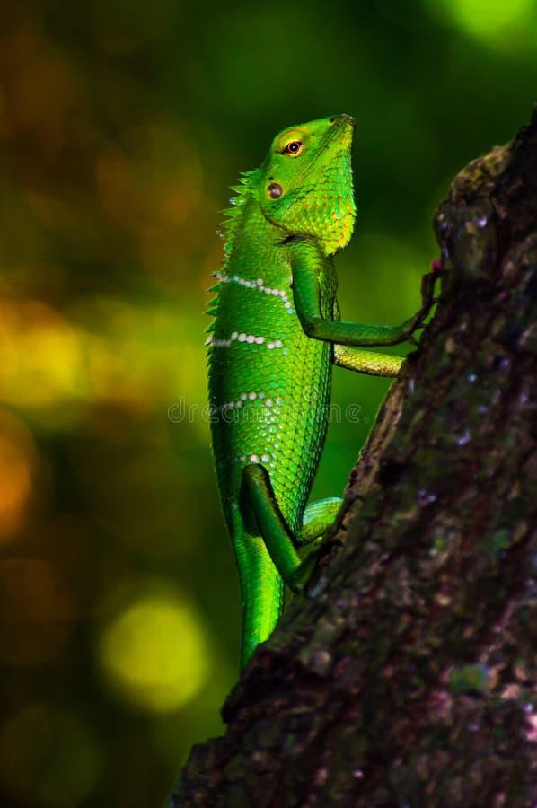 鲜绿色的被称的森林蜥蜴 免版税库存照片