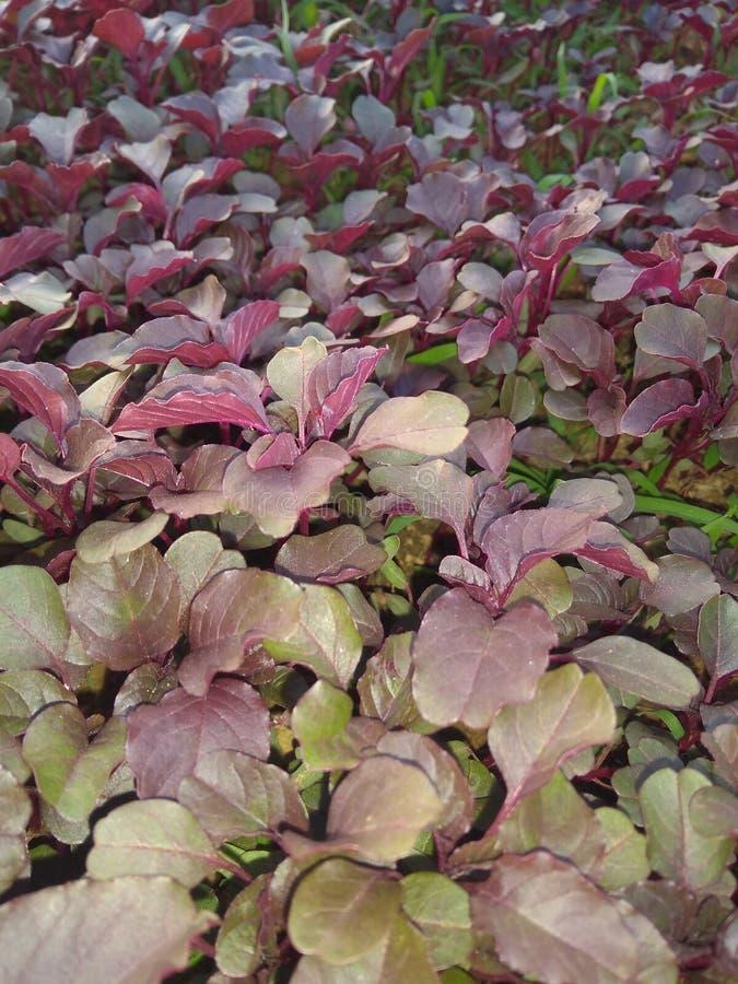 鲜苋属植物一个接近的看法  免版税库存照片