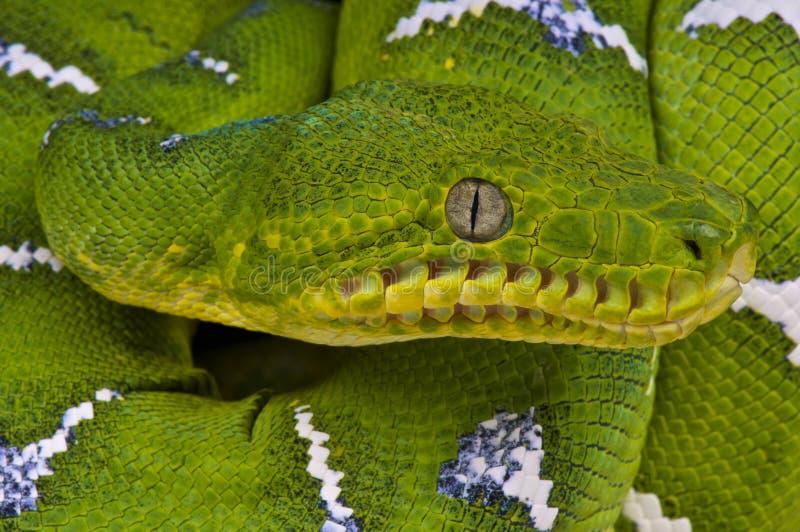 鲜绿色树蟒蛇/Corallus caninus 库存图片