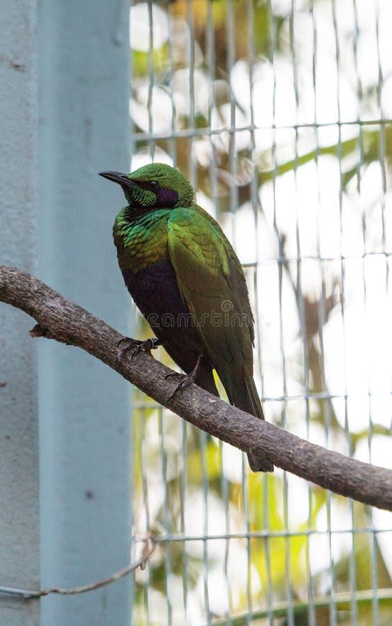 鲜绿色椋鸟鸟Lamprotornis虹膜 免版税库存图片