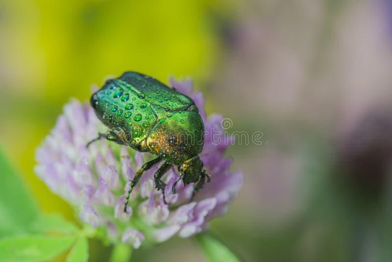 鲜绿色臭虫 图库摄影