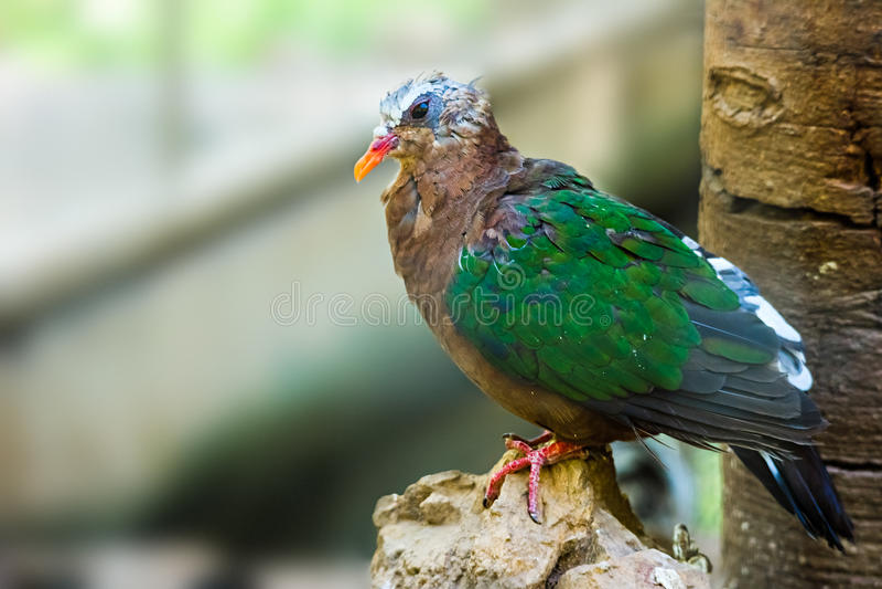 鲜绿色鸠,印度的Chalcophaps 免版税库存图片