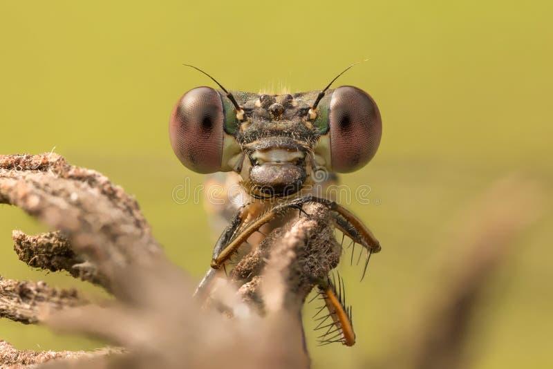 鲜绿色蜻蜓画象 免版税库存图片