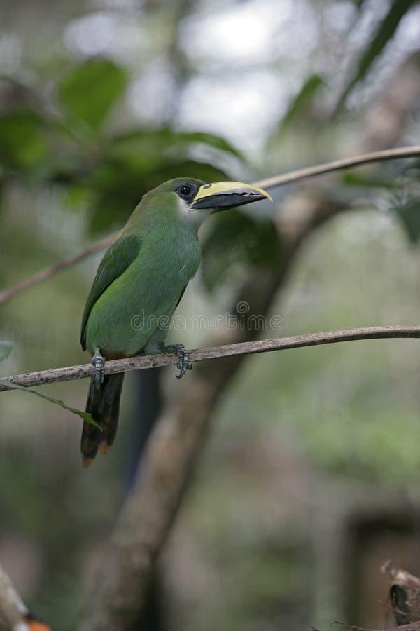 鲜绿色toucan, Aulacorhynchus prasinus 免版税库存图片