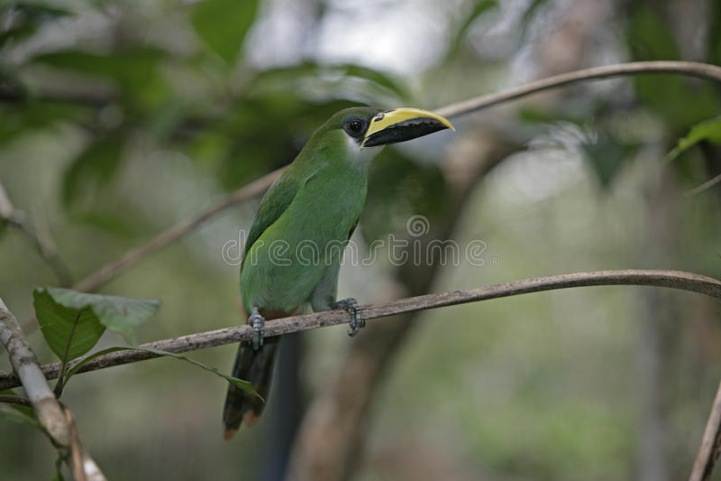 鲜绿色toucan, Aulacorhynchus prasinus 库存照片